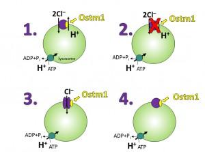 Der Chlorid/Protonenaustauscher ClC-7 und seine Rolle beim Knochenabbau: 1. Normale Funktion von ClC-7 2. Fehlen von ClC-7: schwere Knochenverkalkung (Osteopetrose), graues Fell, Neurodegeneration und Speichererkrankung 3. Mutiertes ClC-7: nur Chloridionentransport, kein Protonenaustausch: leichte Knochenverkalkung, braunes Fell, Neurodegeneration und Speichererkrankung 4. Funktionsloser ClC-7: schwere Knochenverkalkung; schwache Neurodegeneration; braunes Fell (Graphik: Stefanie Weinert.  © MDC/FMP)