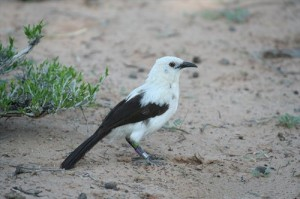Elsterndrossling (Turdoides bicolor)