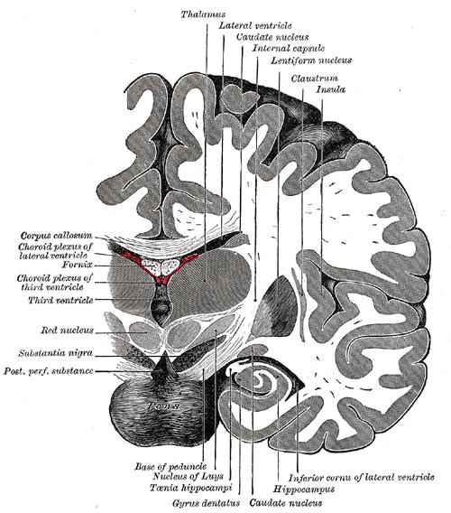 Schnitt durch das Gehirn. Der Gyrus dentatus liegt unten halblinks. © gemeinfrei.
