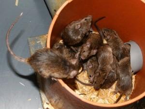 Die ursprünglich wildlebenden Mäuse leben im Experiment in einer der Natur nachempfundenen Umgebung in Versuchsräumen statt in Käfigen. Sie können in Nestern Familien und Gruppen ausbilden, in denen Weibchen gemeinschaftlich ihre Nachkommen aufziehen. © A. Börsch-Haubold