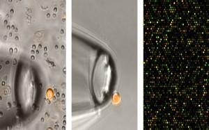 Die Bildfolge zeigt die Isolierung einer Brustkrebszelle (kleiner Kreis links und Mitte) und rechts einen Ausschnitt aus ihrem »molekularen Porträt«. © Fraunhofer ITEM