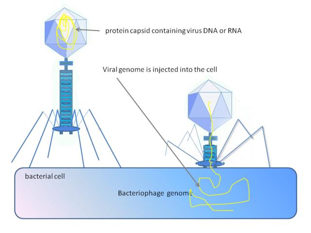 Ein Bakteriophage injiziert sein Genom in ein Bakterium © Graham Colm.