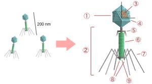 Struktur eines T-Phagen: 1. Kopf, 2. Schwanz, dient als Einspritzapparat, 3. Nukleinsäure, 4. Kapsid, 5.Hals, 6. Schwanzrohr, 7. Schwanzfibern und 8. Spikes, mit denen die Wirtszelle erkannt wird. 9. Grundplatte. © Y tambe. CC BY-SA 3.0.