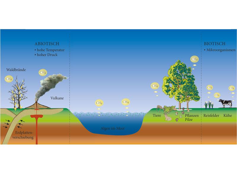 Viele Quellen eines Treibhausgases: Jahrzehntelang kannte die Wissenschaft nur Vulkane und Waldbrände als abiotische Methanquellen, in denen das Gas nicht auf biochemischem Weg entsteht. Als einzige biotische Quelle galten Mikroorganismen, die Methan unter Luftausschluss produzieren. In den vergangenen Jahren haben Frank Keppler und sein Team herausgefunden, dass Pflanzen, Pilze und auch Säugetiere ebenfalls Methan freisetzen, und zwar an der Luft. Ob dies biotisch, also durch Enzyme katalysiert, oder abiotisch und damit rein chemisch geschieht, untersuchen die Forscher derzeit. Jetzt haben sie festgestellt, dass der Kohlenwasserstoff in Pflanzen aus der Aminosäure Methionin entsteht. © Susanne Benner