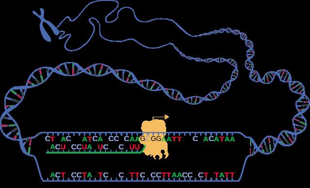 Schematische Darstellung der beiden DNA-Stränge während der Transkription (sense und antisense) und des entstehenden RNA-Transkripts. © public domain.
