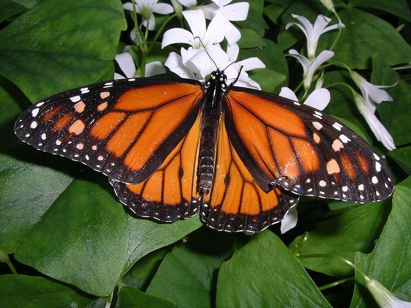 Monarchfalter sind kleine Schönheiten. Sie können auf ihren Wanderungen pro Tag 50 km zurücklegen. © Inzilbeth.  CC BY-SA 3.0.