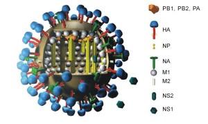 3D-Modell eines Influenzavirus.  © M. Eickmann. Public domain.