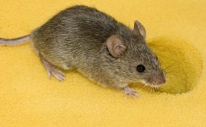 Mäuse, deren eines Auge wegen eines Reizmangels in früher Jugend erblindet ist können ihr Sehvermögen durch Rennen, bei dem sie visuellen Reizen ausgesetzt sind, zurück gewinnen. © George Shuklin. CC BY-SA 1.0.