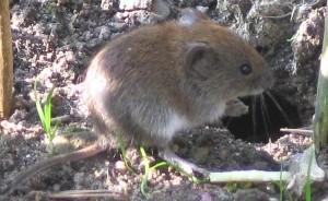 mäuse virus hanta
