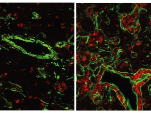 Der normale Thymus einer Maus (links) enthält nur wenige B-Zellen (rot). Wenn das Gen FOXN4 aktiviert wird, entwickelt sich ein fisch-ähnlicher Thymus mit vielen B-Zellen. Dieser Zustand hat vermutlich vor 500 Millionen Jahren existiert, als die ersten Wirbeltiere auftraten. © Max-Planck-Institut für Immunbiologie und Epigenetik