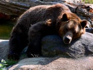 Grizzly beim Faulenzen.  © Pogrebnoj-Alexandroff. CC BY 1.0.