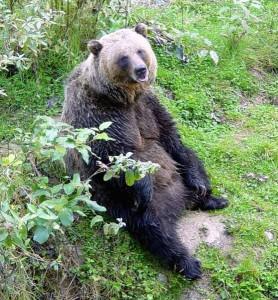 Grizzlybär beim Ausruhen.  © Chad Teer.  CC BY 2.0.