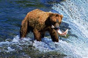 Grizzly fängt Lachs. © Brian W. Schaller. CC BY-NC-SA 3.0