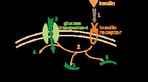 Insulin-Glukose-Metabolismus. © public domain.