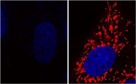Ohne das Gen DJ-1 stellen die Mitochondrien (rot) ihre Aktivität ein (links). Mit Glykolat oder D-Laktat werden sie wieder voll funktionsfähig (rechts). (blau: DNA) © MPI-CBG