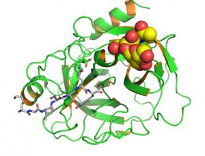 Kristallstruktur des menschlichen Prostata-spezifischen Antigens (PSA). © EAS. CC BY-SA 3.0.