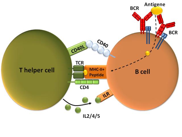 Eine B-Zelle wird durch eine T-Helferzelle aktiviert nachdem sie ihr das internalisierte Antigen als Peptid zusammen mit dem MHC-II-Komplex präsentiert hat. Weitere Bindungen erfolgen über den CD40-Rezeptor und seinen Ligand (CD40L), und über Interleukine (IL 2/4/5), die die T-Zelle ausschüttet. © public domain.