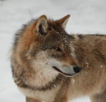 Die Wölfe sind nach Deutschland zurück gekehrt. Umso wichtiger ist ein gutes Management der scheuen Raubtiere. © Susanne Carl