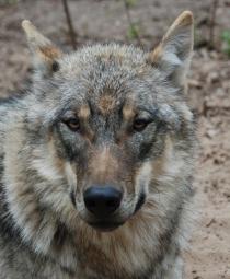 Stammt dieser Wolf aus Südeuropa? Die neuen genetischen Marker können darüber Aufschluss geben. © Susanne Carl