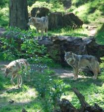 Nach den Wölfen sollen auch weitere Wildtiere anhand der SNP-Marker identifiziert werden. © Susanne Carl