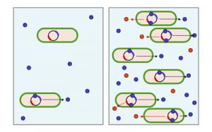 Schema des Quorum sensings, links: Konzentration an Autoinduktormolekülen (blau) gering, rechts: Konzentration an Autoinduktormolekülen hoch, bakterielles Produkt (rot) wird synthetisiert © Y_tambe. CC BY-SA 3.0