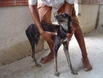 Ein durch die Infektion mit Leishmanien stark abgemagerter Hund. Die Haustiere können als Reservoirwirt für die Krankheitserreger dienen. © Senkenberg