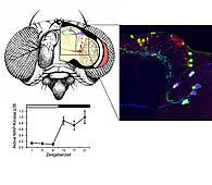 Die MAP-Kinase p38 wird in den Uhren-Neuronen im Gehirn der Taufliege exprimiert und ist nachts aktiv (links unten). Sie interagiert mit dem Uhren-Protein Period und verbindet auf diese Weise das Stress-System mit der inneren Uhr. Rechts oben ist das neuronale Netzwerk der inneren Uhr zu sehen, angefärbt mit Antikörpern gegen verschiedene Neuropeptide. © AG Förster. Universität Würzburg.