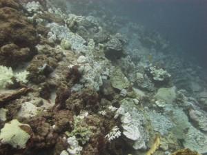 Risikogruppe Korallen: Korallen gehören zu jenen Meereslebewesen, die sehr empfindlich auf die Ozeanversauerung reagieren - insbesondere, wenn die Wassertemperatur zeitgleich ansteigt. Dieses Foto haben AWI-Forscher im Frühjahr 2010 in der thailändischen Andamanensee aufgenommen. Es zeigt ein Korallenriff, das fast vollständig ausgeblichen und zum Großteil abgestorben ist. © Gertraud M. Schmidt, Alfred-Wegener-Institut