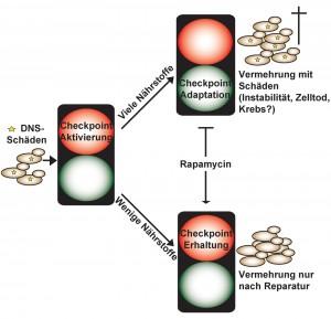 Auswirkungen der Nährstoffzufuhr auf die Zellvermehrung bei beschädigter DNS. © Anpassung von Klermund et al. 2014, Cell Reports