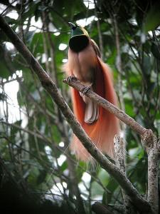Raggiana Paradiesvogel.  Paradiesvögel sind ein gutes Beispiel dafür, welche skurrilen Auswüchse sich durch eine starke Konkurrenz bei der Partnerwahl ausbilden können © markaharper1. CC BY-SA 2.0