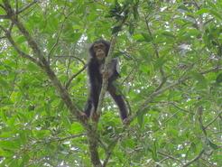 Junger Schimpanse erklettert einen Feigenbaum. © MPI f. evolutionäre Anthropologie/ K. Janmaat