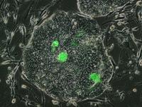 Neu entdeckte nahezu ursprüngliche humane Stammzellen (grün) in einer Kulturschale mit humanen embryonalen Stammzellen.© Jichang Wang/ Copyright: MDC