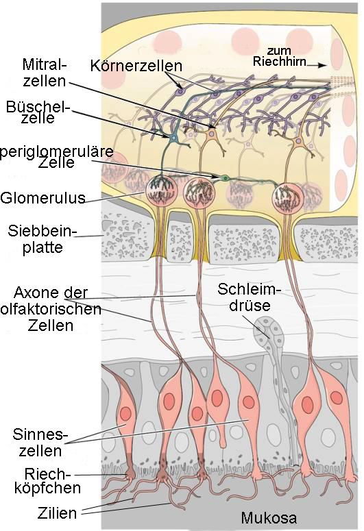 Modell des olfaktorischen Systems. © Helmut Hinghofer-Szalkay. Medizinische Universität Graz.