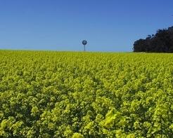 Von wegen Klimaschutz: Bioenergie aus Raps und anderen Pflanzen zu gewinnen, trägt nur selten zur Stabilisation des Klimas bei. © MPI für Biogeochemie / Ernst-Detlef Schulze