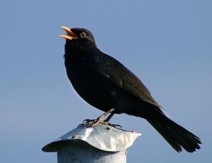 Vögel können auch ohne Ohrmuscheln Geräusche orten.© Malene Thyssen. CC BY-SA 3.0