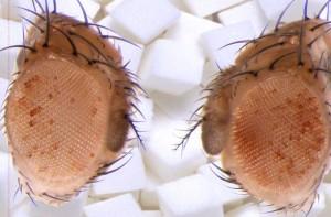 An den roten Augen können die Forscher die übergewichtigen Fliegen erkennen: Durch die besonders zuckerhaltige Ernährung der Väter können in den Söhnen die Gene für einen roten Farbstoff in den Augen sowie andere Stoffwechselfaktoren abgelesen werden. © MPI f. Immunbiologie und Epigenetik/ A. Pospisilik