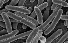Rastertunnelmikroskopaufnahme von einer Kultur Escherichia Coli Quelle: NIAID