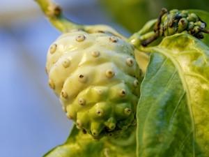 Die Frucht des Noni-Baums (Morinda citrifolia) enthält giftige Säuren und wird dennoch von Fruchtfliegen der Art Drosophila sechellia als ausschließliche Nahrungsquelle genutzt und als Substrat für die Eiablage aufgesucht. © Anna Schroll