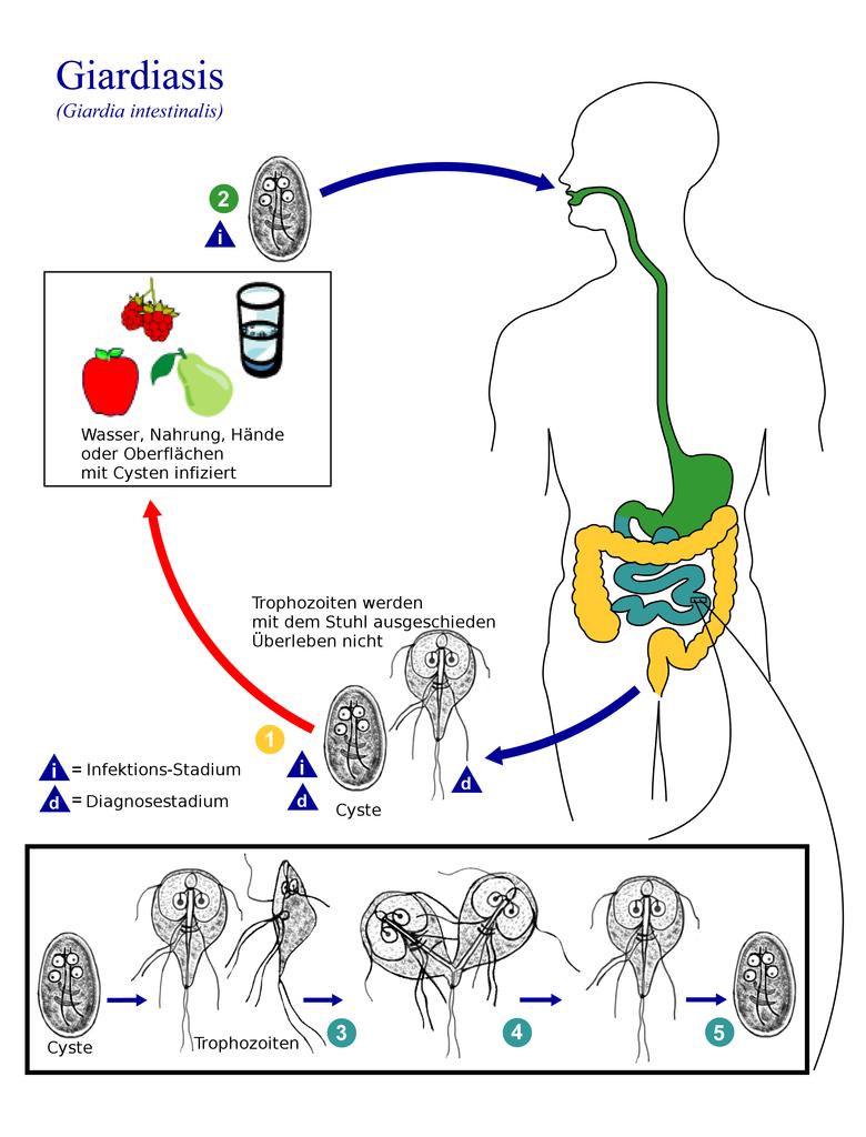 Lebenszyklus von Giardia intestinalis. © public domain.