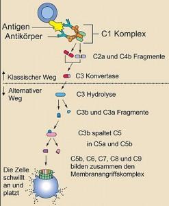 Das Komplementsystem besteht aus etwa 25 Proteinen, die gemeinsam die Immunreaktion von Antikörpern ergänzen (komplementieren), um so Bakterien zu zerstören. Komplement-Proteine zirkulieren in einer inaktiven Form im Blut. Wenn das erste Protein der Komplement-Kaskade aktiviert wird - typischerweise durch einen Antikörper, der an ein Antigen gebunden hat - kommt es zu einem Domino-Effekt: Jede Komponente aktiviert die nächste in einer Kette von Schritten, die als Komplement-Kaskade bezeichnet wird. Alle Komplementproteine zusammen bilden einen Zylinder in der Membran der Zielzelle, der ein Loch in der Zellmembran bildet. Dies führt zum Austausch von Molekülen und Flüssigkeit zwischen Zellinnerem und Umgebung, so dass  die Zelle anschwillt an und platzt. © public domain.
