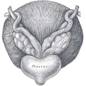 Prostata. © public domain.
