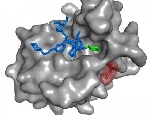 Der SAFit-Ligand (blau und grün) ist ein hoch selektiver Hemmstoff von FKBP51 (grau), einem Risikofaktor für stressbedingte psychiatrische Erkrankungen. Durch die Anlagerung von SAFit ändert sich die Ausrichtung einer Seitenkette des FKBP51 Proteins (rot). Dies ist bei dem sehr ähnlichen funktionalen Gegenspieler FKBP52 nicht möglich. © MPI für Psychiatrie / Felix Hausch