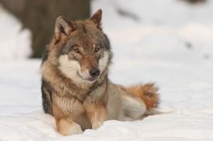 Wolf (Canis lupus). © Bernard Landgraf. CC BY-SA 3.0.