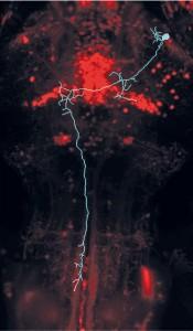 Wenn eine Zebrafischlarve ein Beuteobjekt sieht, wird diese Information an Nervenzellen in der AF7-Hirnregion weitergeleitet. Diese Nervenzellen (hier blau) leiten den Jagdimpuls dann in die bewegungssteuernden Areale weiter. © MPI f. Neurobiologie/ Semmelhack