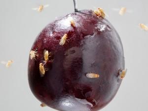 Fruchtfliegen auf einer überreifen Kirsche. © MPI f. chemische Ökologie