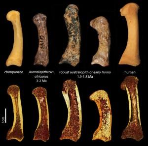 Erster Metakarpal des Daumens eines Schimpansen, fossiler Australopithecinen und eines Menschen (obere Reihe). Die untere Reihe besteht aus Mikro-Computertomografie-Aufnahmen derselben Fossilien. Im Längsschnitt sieht man die Trabekelstruktur innerhalb der Knochen. © Tracy Kivell
