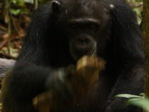 Schimpansin beim Nüsseknacken. © MPI f. evolutionäre Anthropologie/ Giulia Sirianni