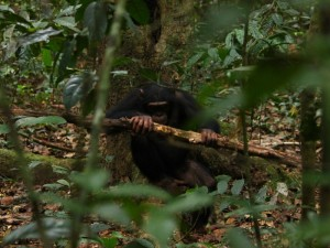 Bei der Auswahl des Hammers berücksichtigen Schimpansen auch, wo sie die Nüsse knacken. © MPI f. evolutionäre Anthropologie/ Giulia Sirianni