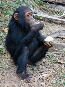 Junger Schimpanse isst eine Frucht. © Ikiwaner. GFDL.