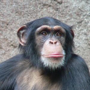 Schimpanse. ©  Thomas Lersch. CC BY-SA 3.0.